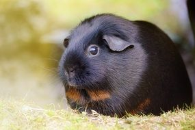 cute black guinea pig
