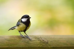 great tit, Parus major, on wooden bar