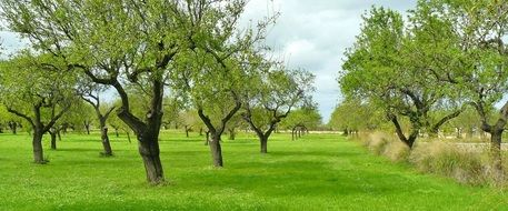 Olive trees on a green meadow
