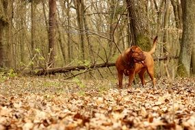 french mastiff in the autumn forest