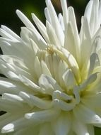 white tender dahlia flower
