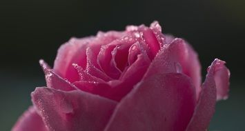 Dewdrops on a pink rose