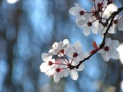Sakura tree branch in spring