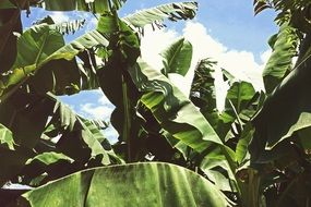 tropical banana plantation