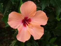 pale orange hibiscus with red heart close-up