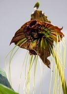 tacca or black orchid