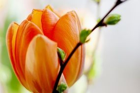 orange tulip bud