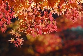 autumn maple leaves in sunshine