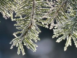 tree branch hoarfrost