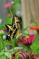swallowtail butterfly on burgundy wild flower