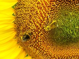 Bee pollinates a flower of a sunflower
