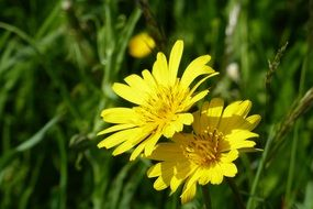 two yellow meadow flowers