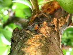 spider with long legs on a tree trunk