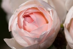 Pale pink lush rose closeup
