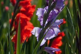 red and purple gladiolus flowers
