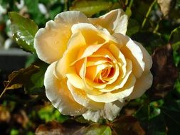 delicate yellow rose blossom