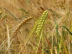 ripening barley spikes in field