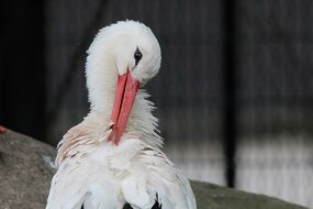 white stork cleaning feathers