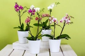 orchids in white pots