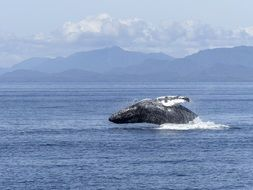 humpback whale in wildlife