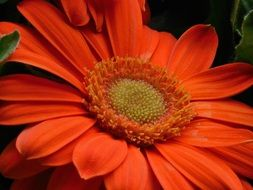fresh red gerbera flower