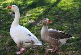 white and gray goose