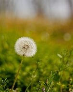 dandelion on a green meadow