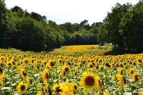large sunflower field on a sunny day