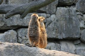 Beautiful and cute meerkats on the stone