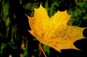 Picture of yellow leaf plant