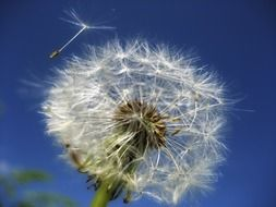 dandelion with seeds against a clear blue sky