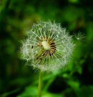 magnificent dandelion seeds