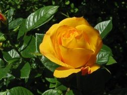 yellow rose on a bush under the bright sun