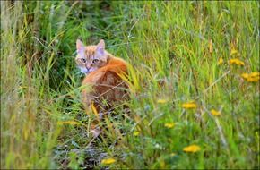 red cat on a flowering green meadow