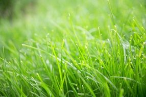 new bright green grass, shallow depth of field