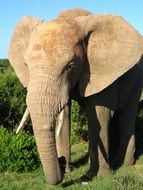 Picture of the african elephant