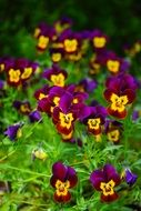 purple yellow pansy flowers