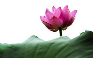 pink lotus over a large green leaf