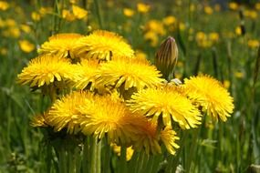 yellow dandelions blooming on meadow