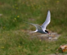 common tern caught a fish