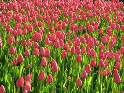 A lot of the pink tulips