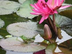 pink lily in the pond