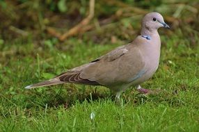 collared dove bird wild portrait