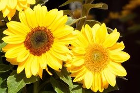 bouquet of bright yellow sunflowers
