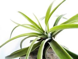 genus of herbaceous Tillandsia plants of the family Bromeliads