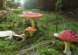 red fly agaric in the forest closeup