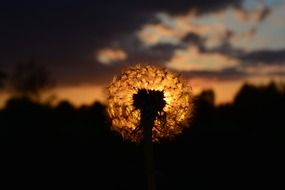 dandelion sunset afterglow plant outlines view