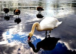 wild birds and white swan drink water from a pond