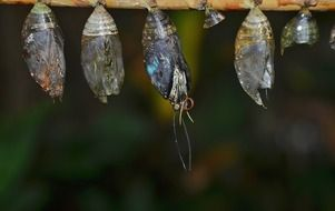 eclosion butterfly cocoons
