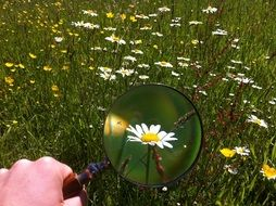 Daisy under the magnifying glass